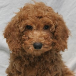 Sunshine Acres Goldendoodles Moyen Poodle Puppies For Sale