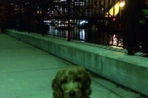 Goldendoodle puppies for sale Chicagoland