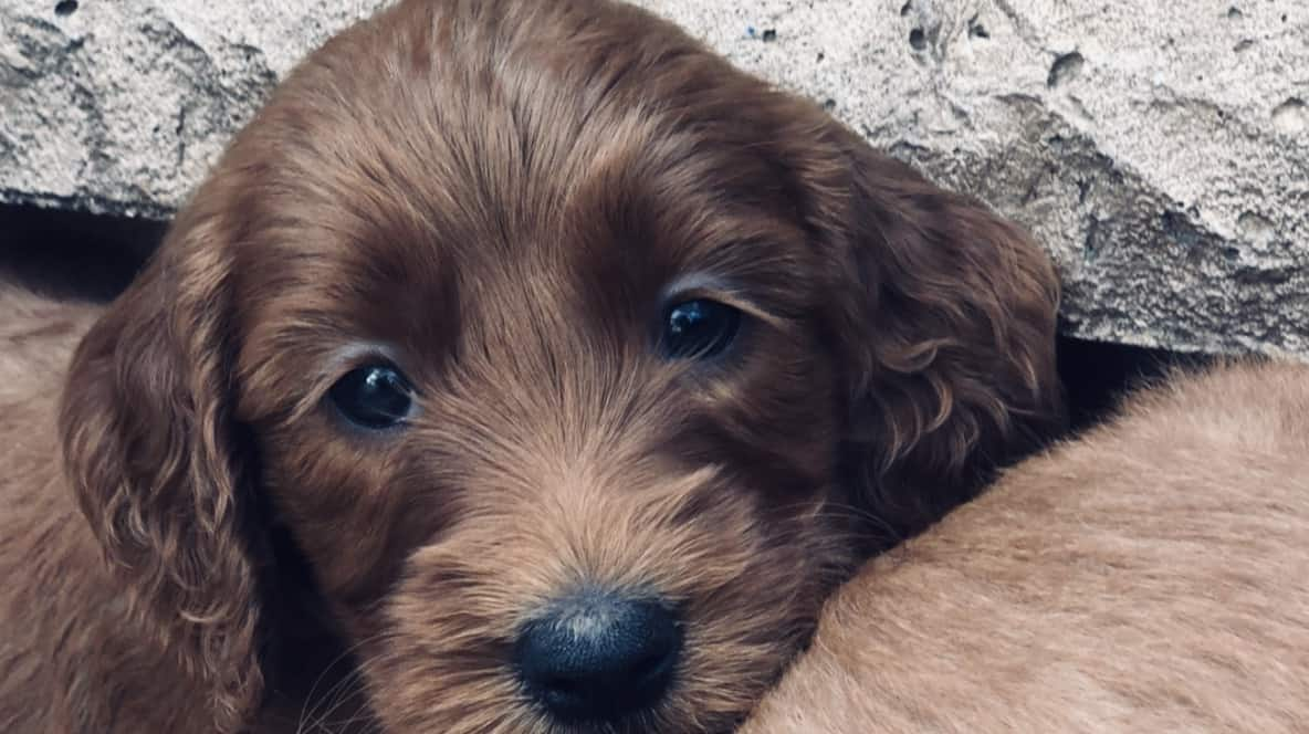Sunshine Acres Goldendoodles Goldendoodle Puppies For Sale By Age An Experienced Goldendoodle Breeder Of Goldendoodle Puppies For Sale