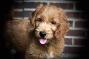 F1 Goldendoodle Puppy for Sale