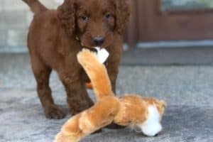 Goldendoodle puppy in New York City