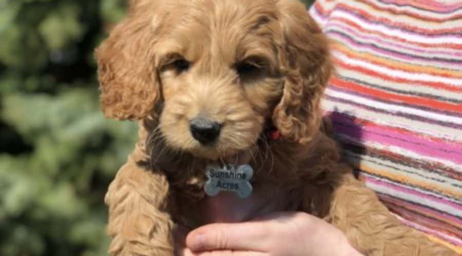Goldendoodle Puppies for Sale in New York