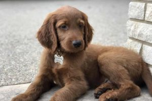 Thomas, An Irish Goldendoodle Puppy