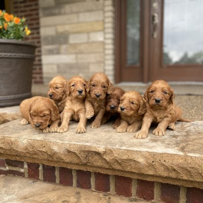 Brownie's Litter Coming Soon