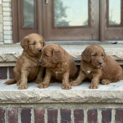Hazel's Litter Coming Soon