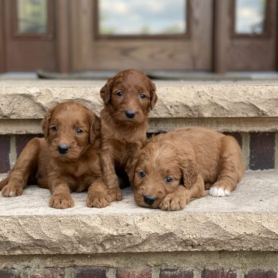 Willow's Litter Coming Soon
