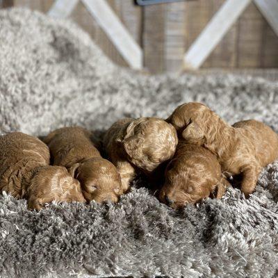 Ginger's Litter Coming Soon