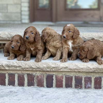 Bella's Litter Coming Soon