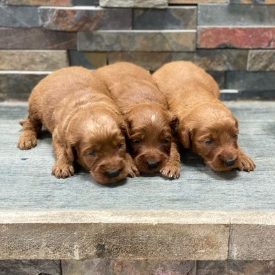Trixie's Litter Coming Soon