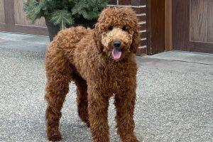 Moyen Poodle Adult