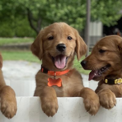 Ready Now – Purebred AKC Golden Retriever Puppies